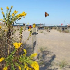 Beach butterfly in NJ